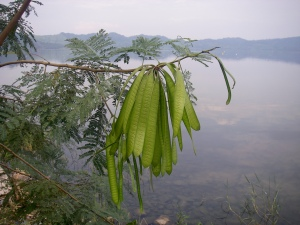 The PDRA project will descover more about past vegetation and climate change in Lake Bosumtwi (Ghana)