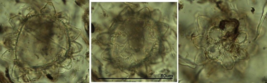 Tardigrade egg found in Ghanaian pollen trap by Adele
