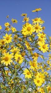 02_05_2007_Asteraceae