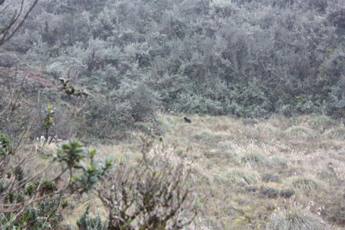 An Andean bear, or a black dog?
