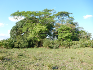 Forest island in the Llanos de Moxos savannas. Photo: C. McMichael