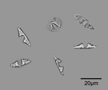 Heliconia phytoliths are commonly found in soils and sediments and indicate past openings in the forest canopy (disturbances).