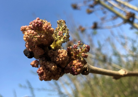 The black buds of the ash branches have burst, releasing the purple anthers